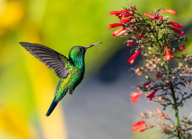 Pueblo Hummingbird