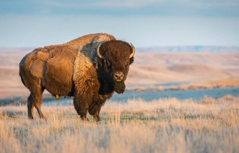 Buffalo-8