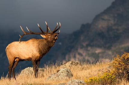 Native Hope Elk 3