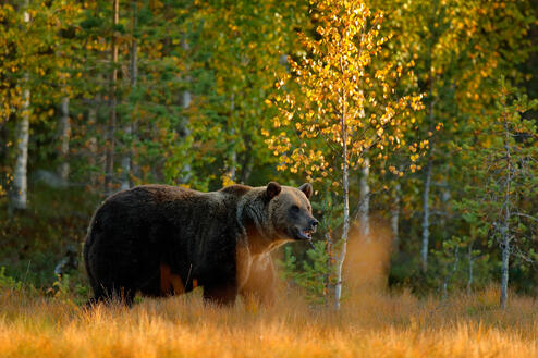 storyblocks-autumn-wood-with-bear-beautiful-brown-bear-walking-around-lake-with-autumn-colours-dangerous-animal-in-nature-meadow-habitat-wildlife-scene-finland-brown-bear-hidden-in-yellow-pine-birch-forest_BczvfjMm-M