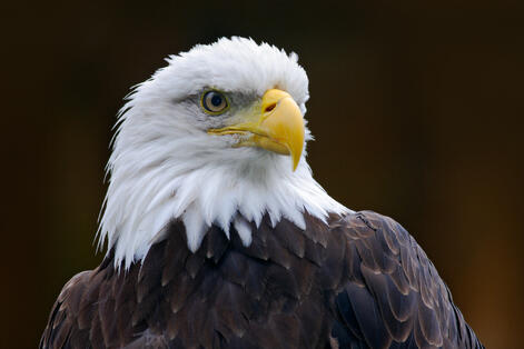 storyblocks-bald-eagle-haliaeetus-leucocephalus-portrait-of-brown-bird-of-prey-with-white-head-yellow-bill-symbol-of-freedom-of-the-united-states-of-america-alaska-usa_ScUQXlQ7-G
