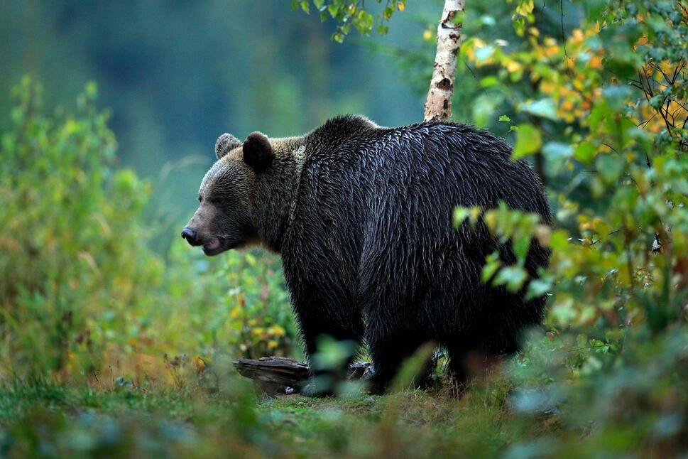 storyblocks-wildlife-from-europe-autumn-trees-with-bear-brown-bear-feeding-before-winter-slovakia-mountain-mala-fatra-evening-in-the-green-forest-big-female-dangers-animal-yellow-autumn-wood-habitat_B5MVpjGXZf-1