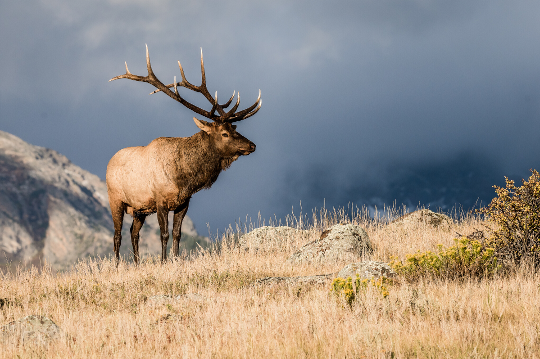 Native American Animals: the Elk, a Protector and Relative
